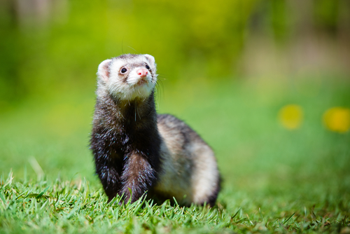 Can Cystic Fibrosis Treatment Improve Thanks To a Ferret?