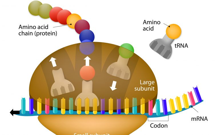 Cellular protein-building machinery. Translarna replaces premature stop codons with relevant amino acids.